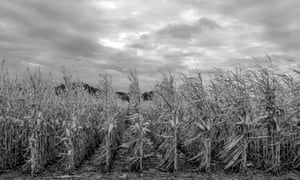 Un-harvested corn stands south of Council Bluffs, Iowa