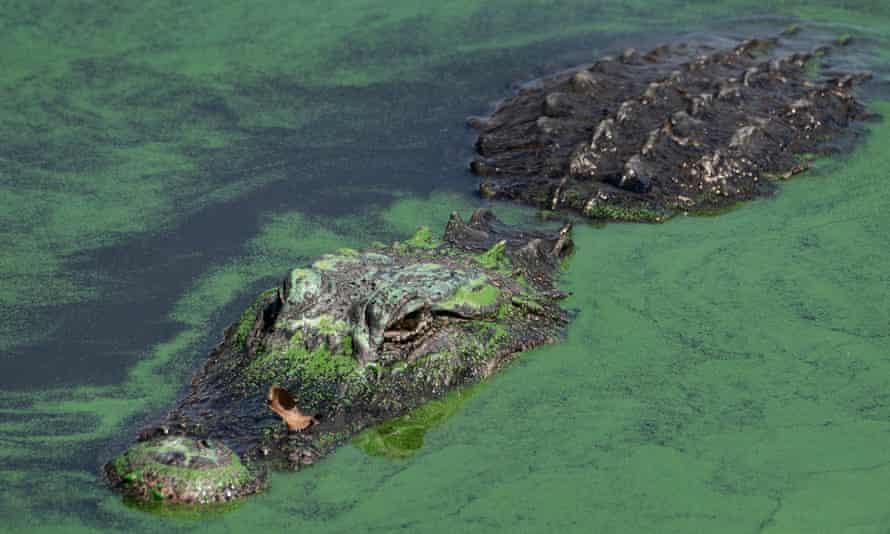 An alligator swims through blue-green algae in Lake Okeechobee, Florida.