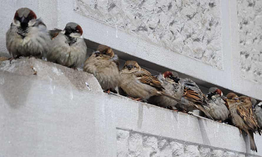 City dwelling sparrows.