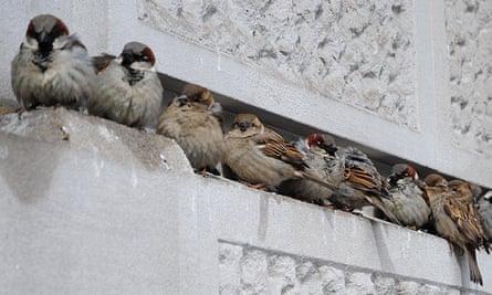 City dwelling sparrows.