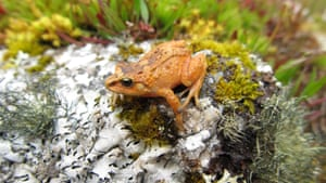 A 'cutin of mountain' frog, one of three new species of frog found in the forest area of Pui Pui in the Peruvian Andes
