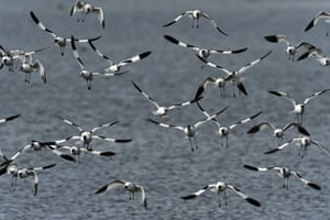 A flock of migratory pied avocets flying above the Budai salt fields in Chiayi, southern Taiwan, where they come to spend the winter