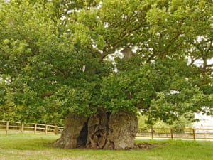 Bowthorpe oak, Bourne, Lincolnshire. This 1,000-year-old tree stands in a field at Manthorpe, near Bourne. Its hollow trunk has been used for parties; at one point, it is claimed, three dozen people managed to stand within it.