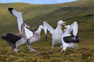 Tristan albatross on Gough Island, Tristan da Cunha