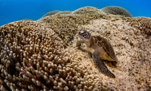 A turtle lounging on corals in the reef