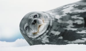 A seal lying on its side; close up of the trunk and head, it is looking direct at the camera with what seems to be a smile.