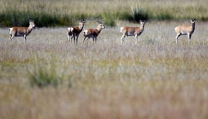 Przewalski's gazelles in Ha'ergai township of Gangcha county, northwest China's Qinghai Province