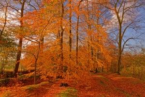 A beech tree in Alderley Edge woods in Cheshire, England. UK