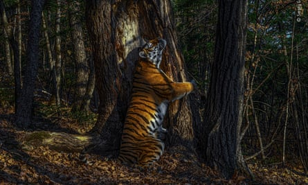 Wild and Free Siberian Tiger!