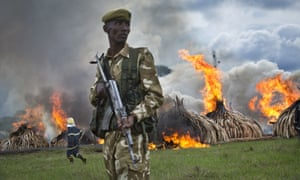 A ranger from the Kenya Wildlife Service stands guard as pyres of ivory are set on fire in Nairobi National Park