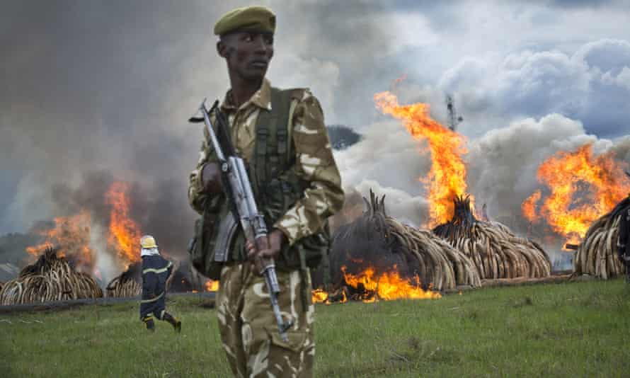 A ranger from the Kenya Wildlife Service stands guard as pyres of ivory are set on fire in April this year.