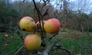 Apples in Orchard Park, Warmington