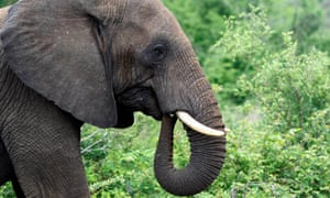 A bull elephant grazes in South Africa's Kruger national park