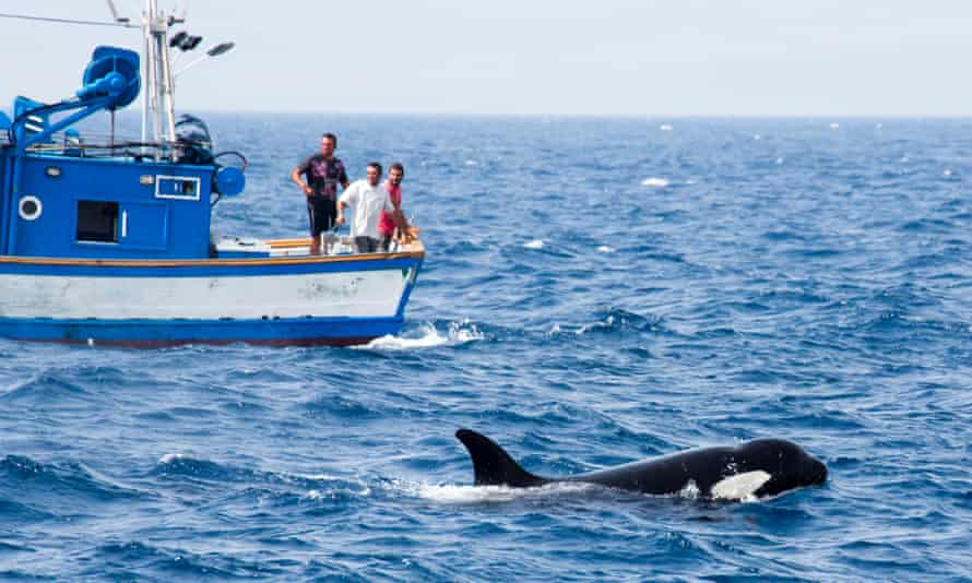 Orcas feeding near a Moroccan fishing boat.