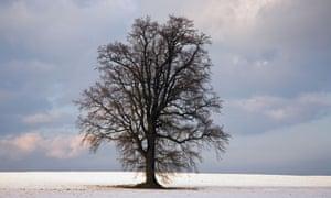 Oak tree in winter snow near Cranbrook, Kent