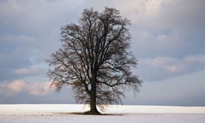 Oak tree in snowy fields near Cranbrook