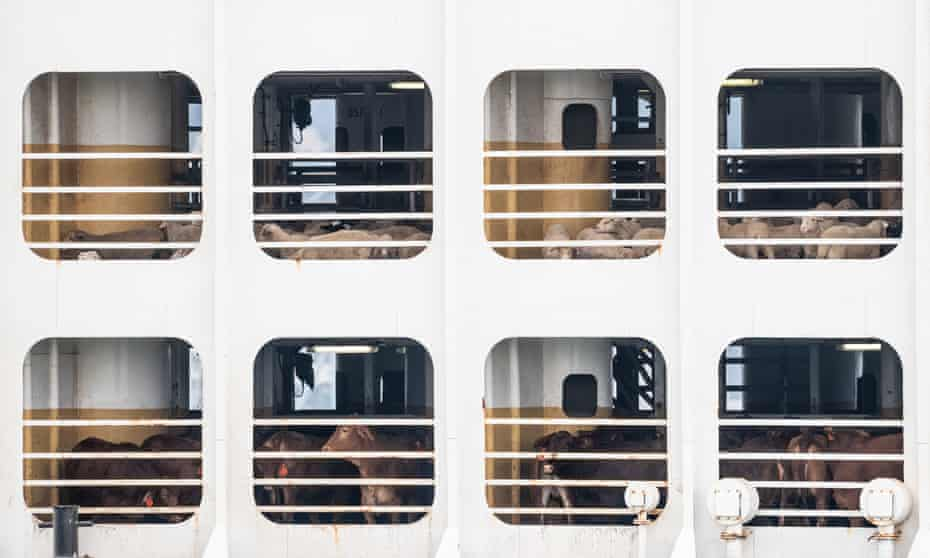 Livestock on board a cargo ship.