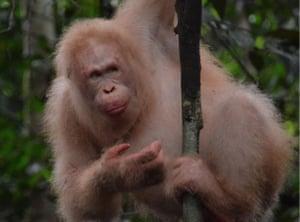 Alba, the albino orangutan