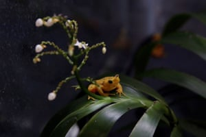 A golden frog at the Smithsonian Tropical Research Institute in Gamboa, a rainforest near Panama City.
