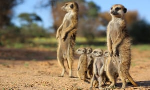 A meerkat family filmed for Animals With Cameras
