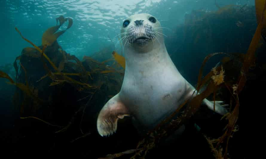 A young common seal in the kelp off Lundy island, Devon.