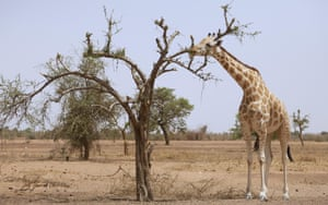 One of the last giraffes in the park of Koure, Niger, West Africa