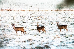 A family of roe deer at dawn at Oxnam village in the Scottish Borders, UK