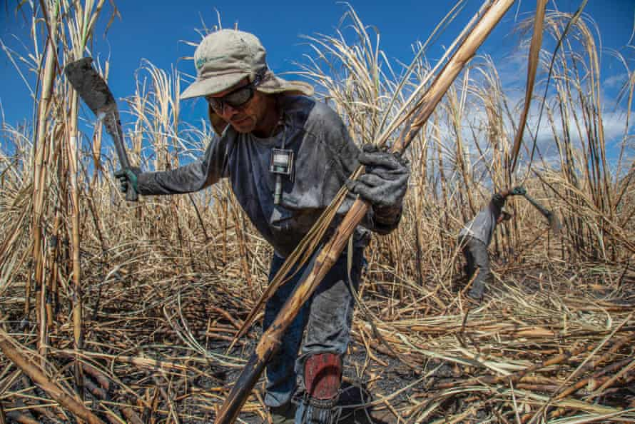 Sugar cane workers cutting in burned fields, with dust monitors on their chests