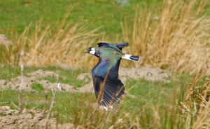 Lapwing flying above grass, showing iridescent blue, green and purple plumage