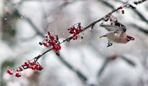 A bohemian waxwing eats a rowan berry in the Ivanovo region of Russia.