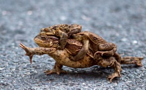 A common toad carrying two males on its back in the German village of Altenbrak.