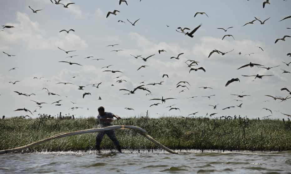 A man lays oil0absorbent boom as oil from the Deepwater Horizon oil spill impacts Cat Island in Barataria Bay, Plaquemines Parish, Louisiana, in 2010.