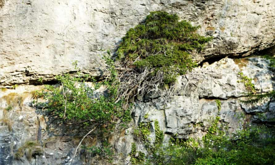 Bird-sown yew growing straight out of the limestone cliff in Chee Dale by the River Wye.