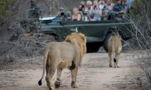 Lions lope towards a visitor-laden jeep in Klaserie private nature reserve.