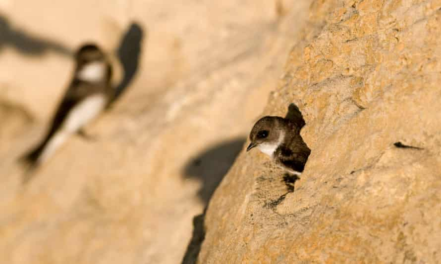 A sand martin looking out of its nest entrance