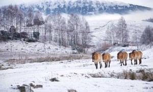 Przewalski's horses roam the frozen park