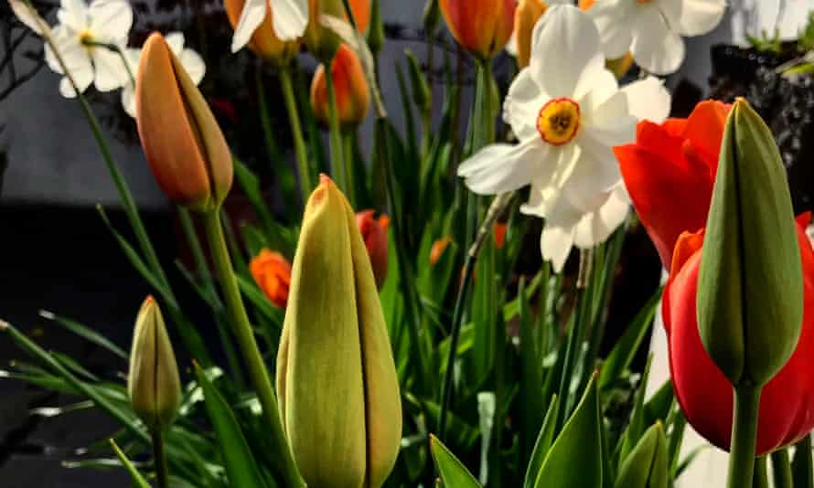 Rise and shine: pheasant's eye narcissus and tulips growing on the roof terrace.