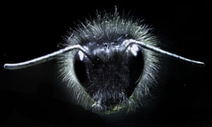 A new study has shown that Bumblebees use tiny vibrating hairs to sense electric fields transmitted by flowers. Static electricity causes the hairs to move and helps the bees find sources of pollen, scientists have discovered.