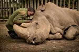 Male northern white rhino dying