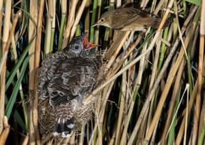 A cuckoo being fed by a reed warbler in Lincolnshire, UK