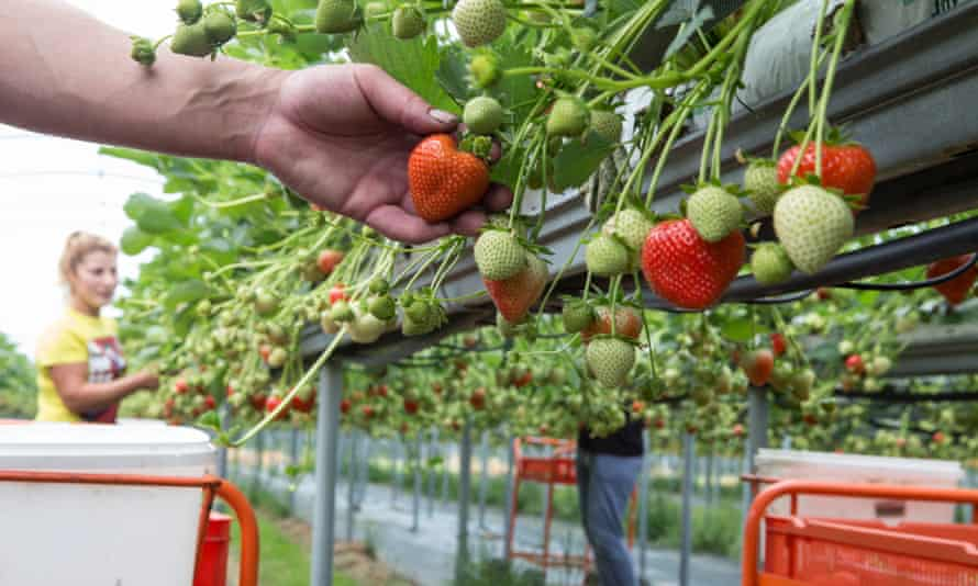 Migrant farm workers pick strawberries at Langdon Manor farm
