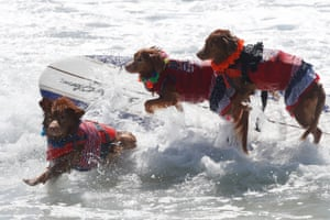 Three dogs jump from their surfboard as they compete in the tandem category