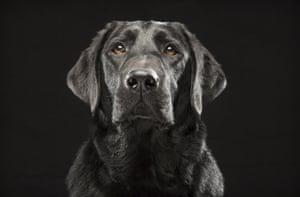 Denver - A black Labrador retriever