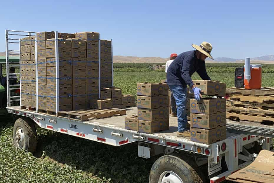 Farmworkers stack boxes of melons on a mobile platform in Firebaugh, California, where temperatures are expected to surpass 110 degrees.