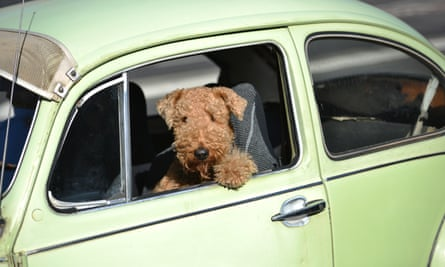 A dog sits in a Volkswagen Beetle as it drives on a road in Sydney