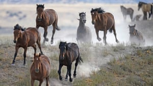 Wild horses gallop from a watering trough in Utah, US.