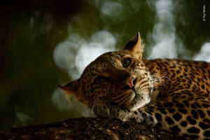 Lounging leopard by Skye Meaker, South Africa – grand title winner, 15-17 years