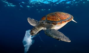 Green turtle eating a plastic bag resembling a jellyfish , TenerifeH8TTCD Green turtle eating a plastic bag resembling a jellyfish , Tenerife