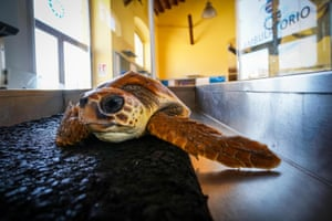 A sea turtle nicknamed Greta undergoes surgery after being found by a fisherman in Gaeta, Naples, wrapped in a tangle of lines and with a hook ingested