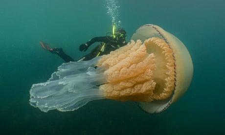 Jellyfish as big as a human seen off Cornwall coast – video